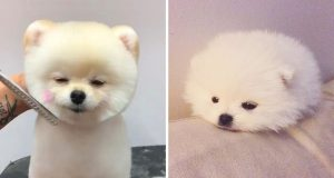 Cute Dog Doing Funny Things #20 🐶Funny and Cutest Pomeranian Puppies - Mini Pomeranian