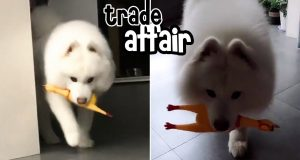 Funny Dog Vlog: I Give You Chicken, You Giveback Me Food, OK?