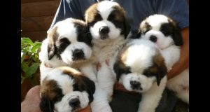 Cute St Bernard Puppies Compilation - Cutest Puppies Ever!