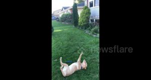 Dog tries and fails to catch dandelion seed