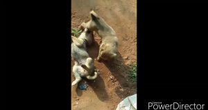 Funny dogs video