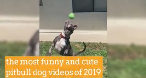 The Most Funny and Cute Pitbull Dog Videos of 2019