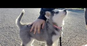 Husky Puppies Funny Compilation #4 - Best of 2018