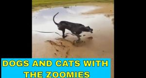 Funny dogs and cats with the zoomies
