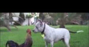 ديك يقاتل كلب - Chicken VS Dog Fight - Funny Dog Fight Videos