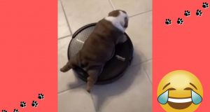 Funny Dog Videos 2020 | Try Not To Laugh Hard With These Funny Dogs