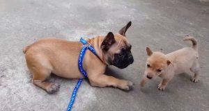 French Bulldog metting baby Dog/ Funny French videos / Life of Bulldog # 18