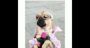 Funny video. How to dress a dog beautifully.
