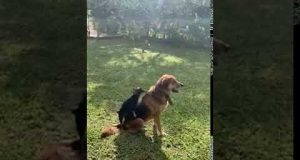 Little dog trying to mate with big dog - Funny!