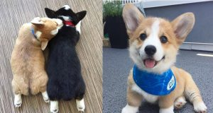 Too Cute Corgi Puppies - Baby Dogs Cute And Funny Dog Videos | Funny And Cute Corgi Compilation