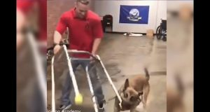 Hilarious dog would rather play than pass his service dog training class