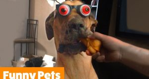Try Not To Laugh   Funny Pet Videos