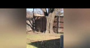 Dog tries to jump over tiny fence but fails
