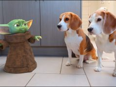 BABY YODA vs DOGS IN REAL LIFE! Funny dog Louie The Beagle