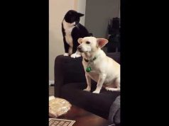 Cat Trolling Dog Funny