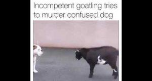 Goat vs Dog ( funny )