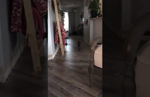 Sphynx cat loves playing fetch like a dog Funny😸