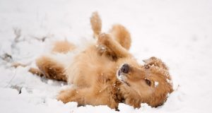 Funny Dogs Making Snow Angels Compilation