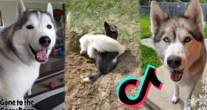 Life with a Husky TikTok Dogs Compilation Part 1 | Funny Videos