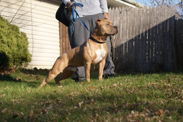 5 Tips to Make House Training Your American Pit Bull Terrier a Breeze