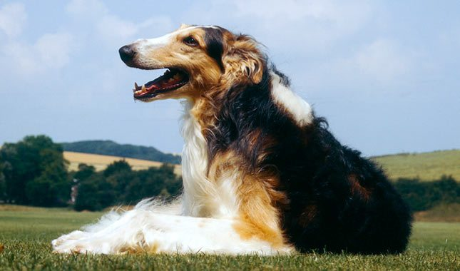 Borzoi Breed Characteristics