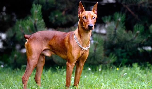 German Pinscher Breed Characteristics