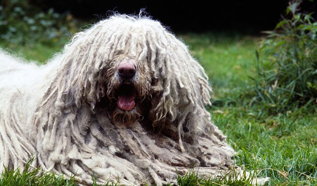 Komondor Breed Information