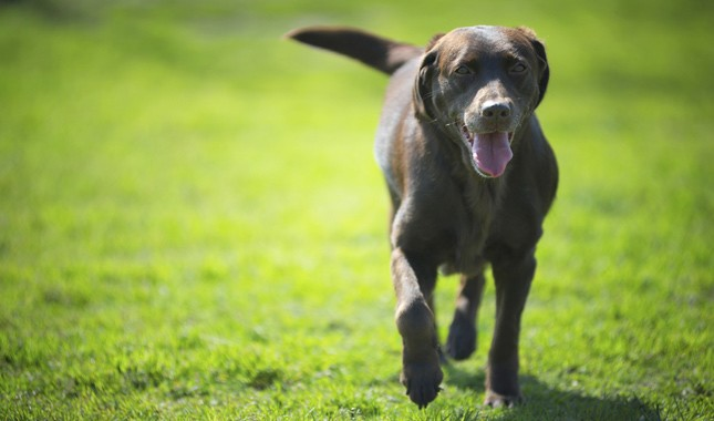 Labrador Retriever Breed Information