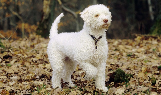 Lagotto Romagnolo Breed Information
