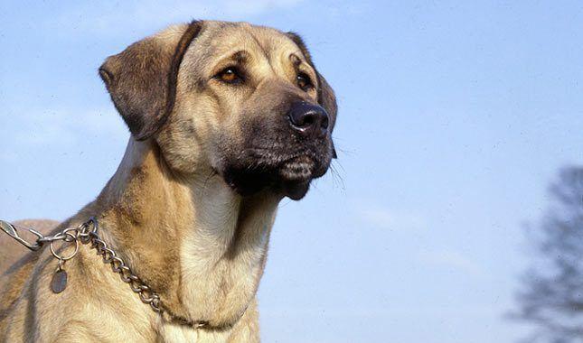 Anatolian Shepherd Breed Characteristics - Pet Care Plus