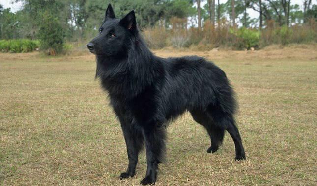 Belgian-Sheepdog-1