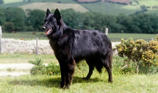 Belgian-Sheepdog