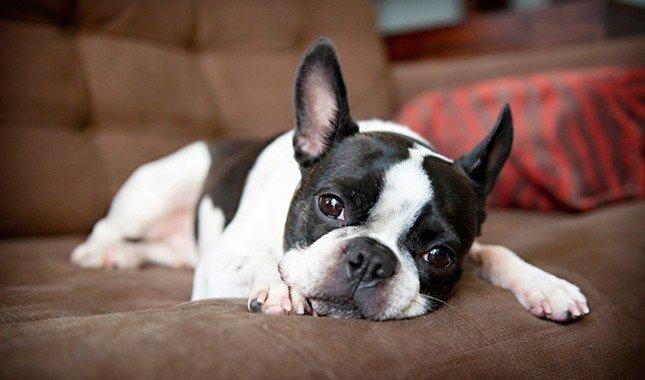 Boston-Terrier-1