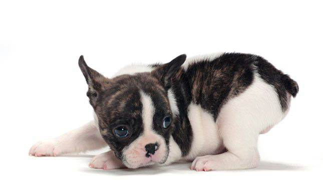 Boston-Terrier-2