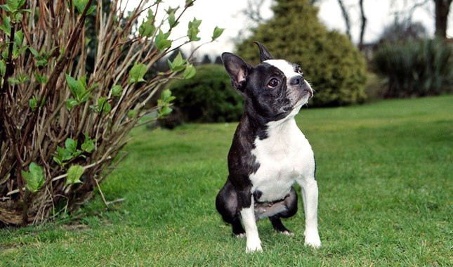 Boston-Terrier-4