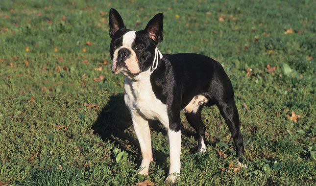 Boston-Terrier-5