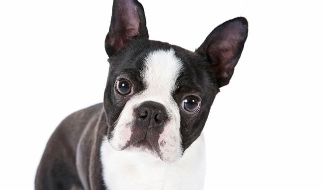 Boston-Terrier-6