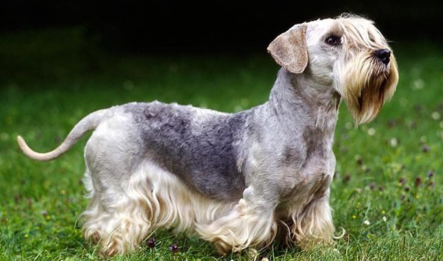Cesky-Terrier