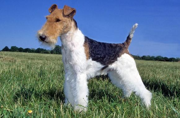 Fox-Terrier-2