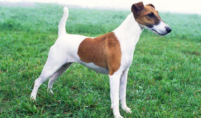 Fox-Terrier-4