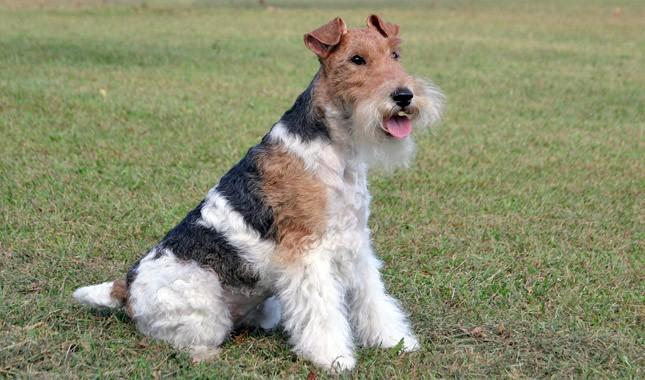 Fox-Terrier-5
