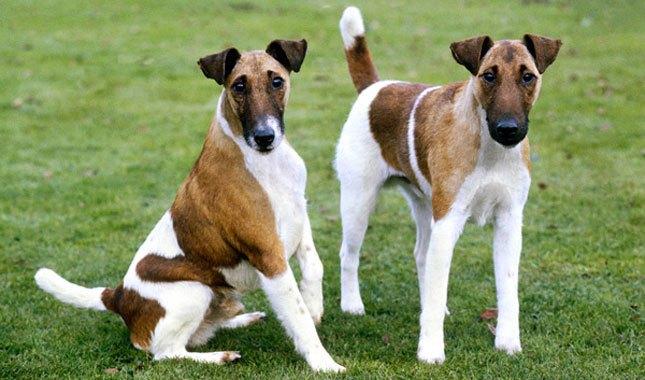 Fox-Terrier-6