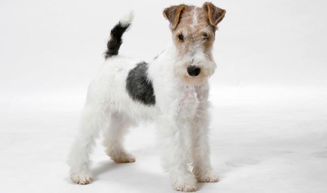 Fox-Terrier-7