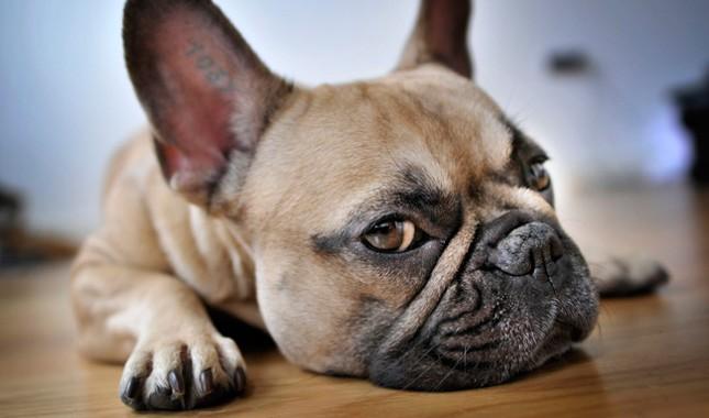 French-Bulldog-1