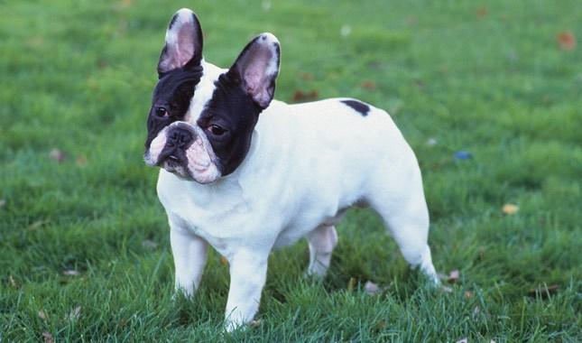 French-Bulldog-2