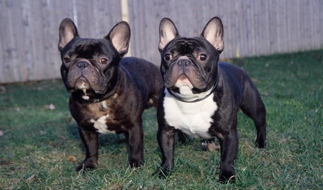 French-Bulldog-3