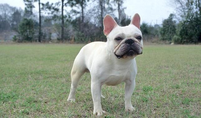 French-Bulldog-4
