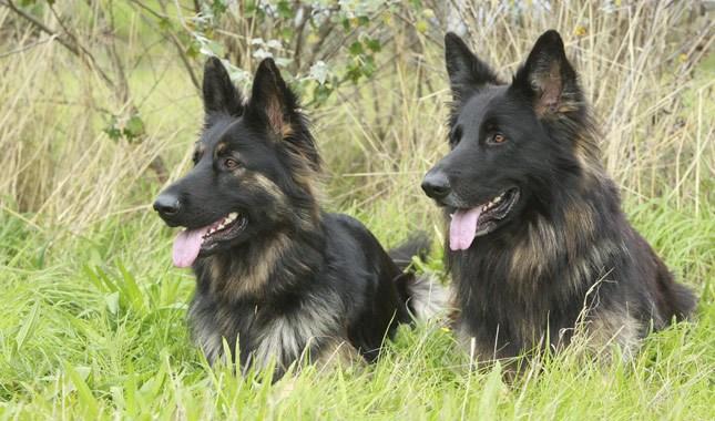 German-Shepherd-Dog-1