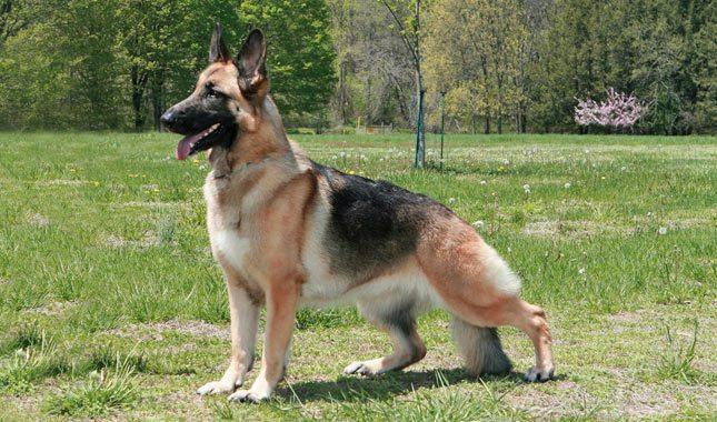 German-Shepherd-Dog-10