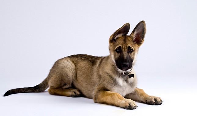German-Shepherd-Dog-11